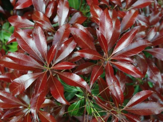 Brilliant red new growth on Katsura pieris.