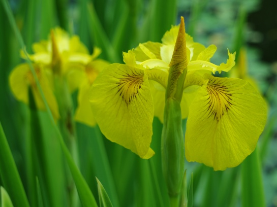 Yellow flag iris in mid May