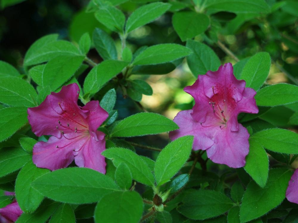 Azaleas in mid May