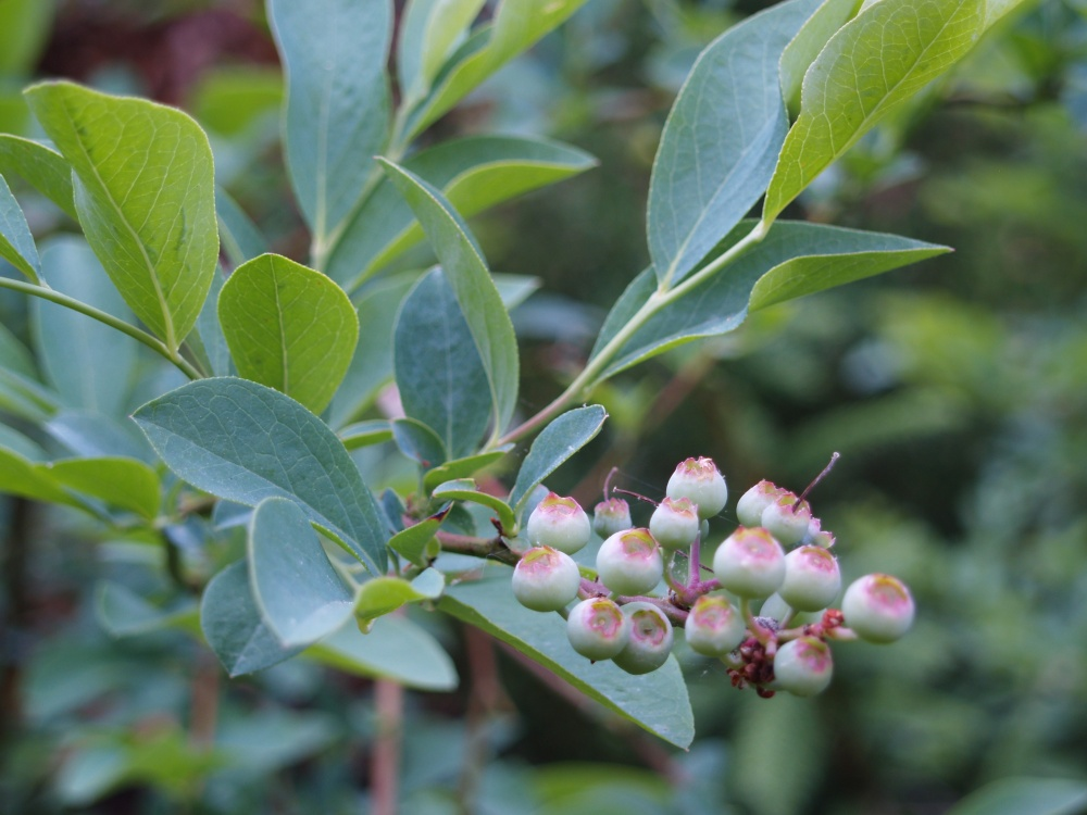 Blueberries ripening in late May