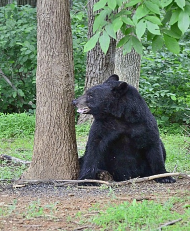 A black bear photographed in a nearby neighborhood. He looks familiar.