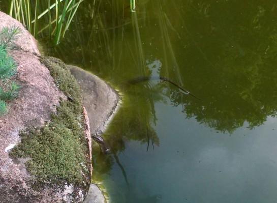 Snake in koi pond