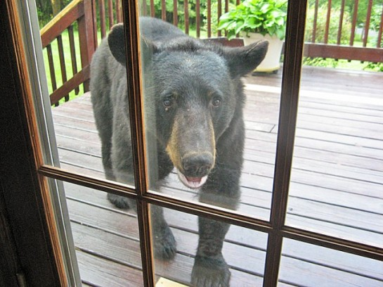 Another photo of the bear in the neighborhood.