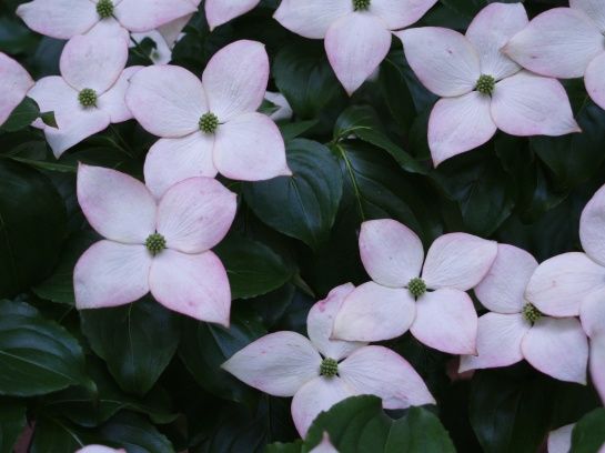Satomi dogwood in early June