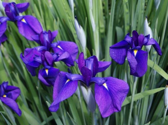 Japanese iris seedling