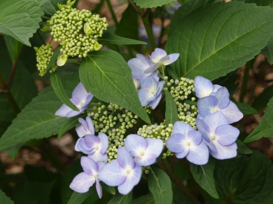 Twist n Shout lacecap hydrangea flowering in June