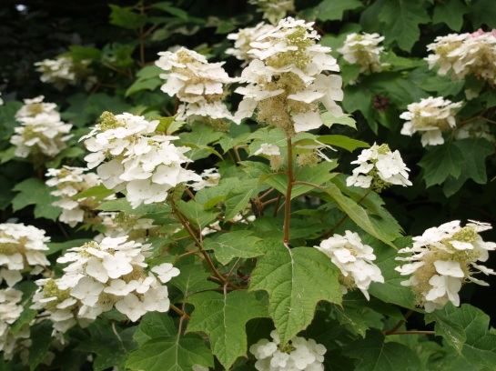 Abundant blooms on oakleaf hydrangea in late June