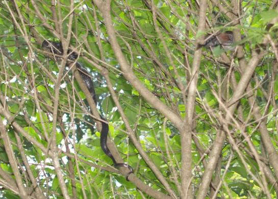 Black snake in fringetree
