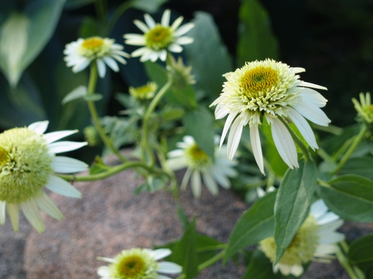 Coconut Lime tolerates neglect - one of few coneflowers to survive in the garden
