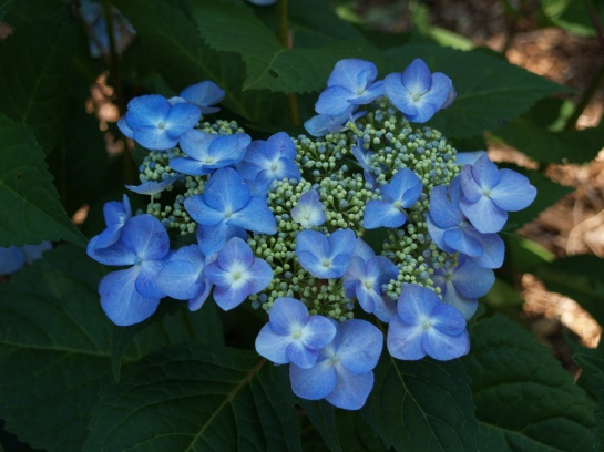 Twist n 'Shout hydrangea in early July