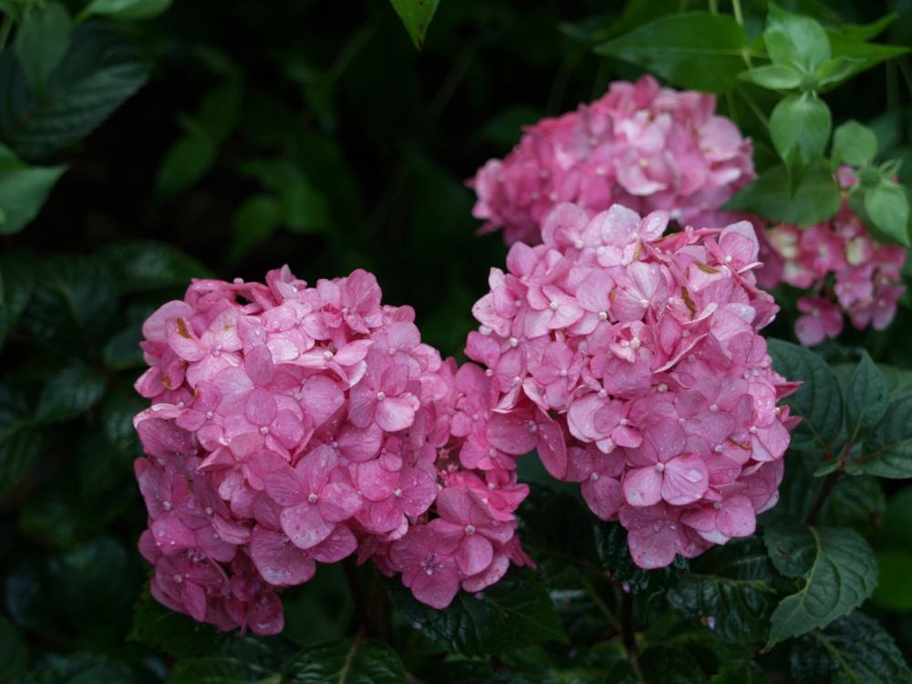 Bloomstruck hydrangea in early July