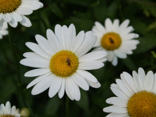 Perennial daisies are simple, even for me