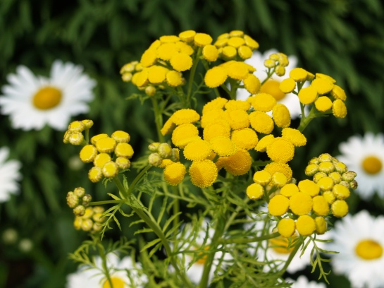Tansy and daisies in July