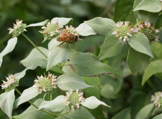 Bee on Mountain mint