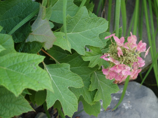 Oakleaf hydrangea in August