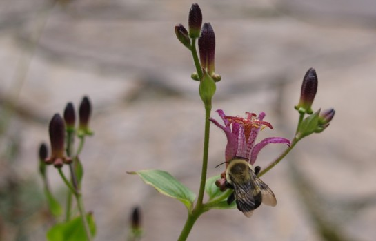 Bumblebee on toad lily in August