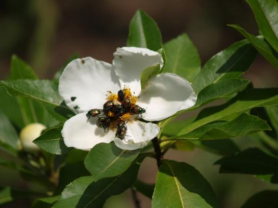 Japanese beetles on Gordlinia flower