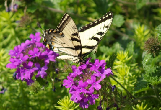 Tiger swallowtail on verbena