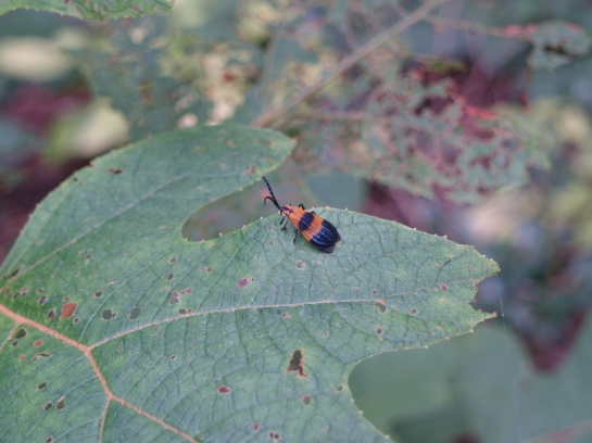 Insect eating leaves of Oakleaf hydrangea