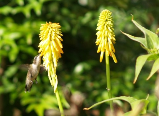 Hummingbird on Red Hot Poker