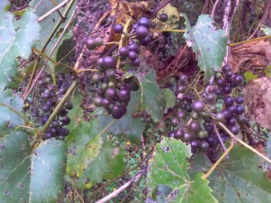 Riverbank grape