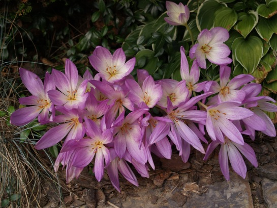 Autumn crocus in late September