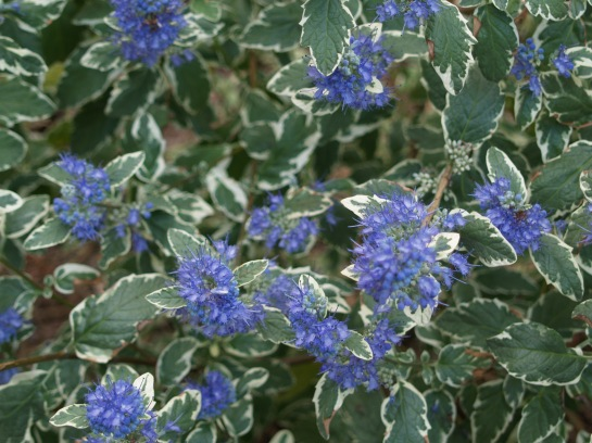 White Surprise blue mist shrub