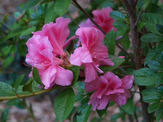 Encore Carnation azalea in late September
