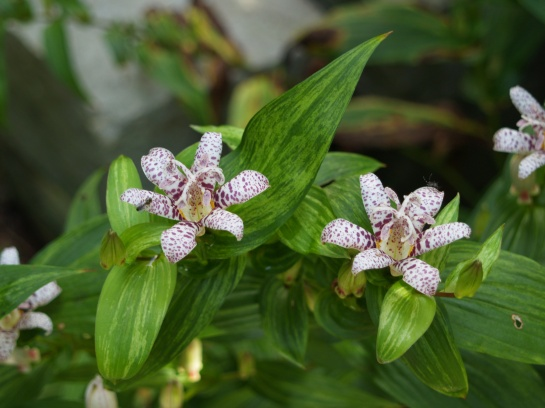 Stems of Lightning Strike toad lily have lost rigidity in the late summer drought, but flowering has not been effected.