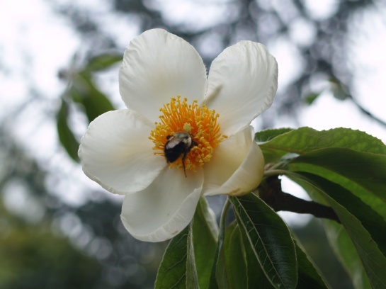 Franklinia flower in late August