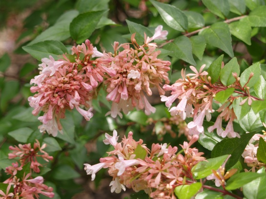 Canyon Creek abelia in late August