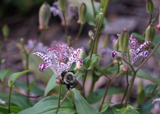 Bumblebee on toad lily