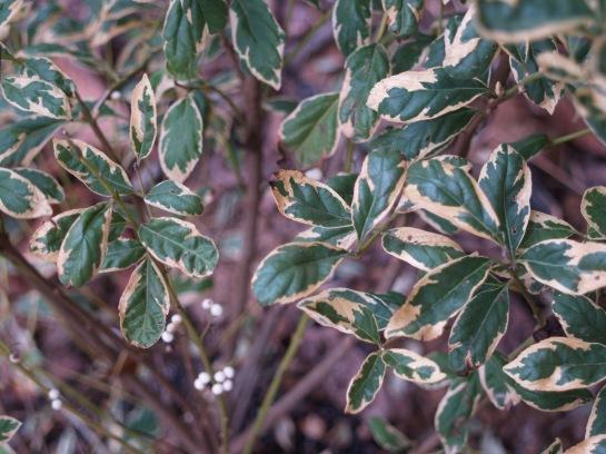 Duet beautyberry