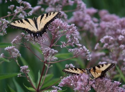Swallowtail butterflies on Joe Pye