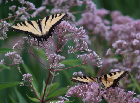Swallowtail butterflies on Joe Pye