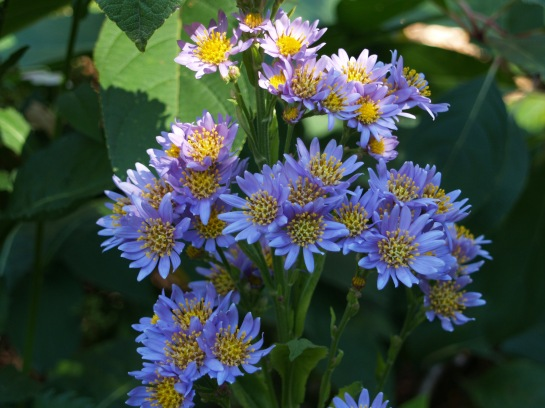 Tatarian aster in early November