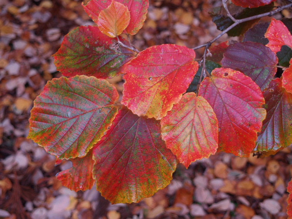Diane witch hazel in late October