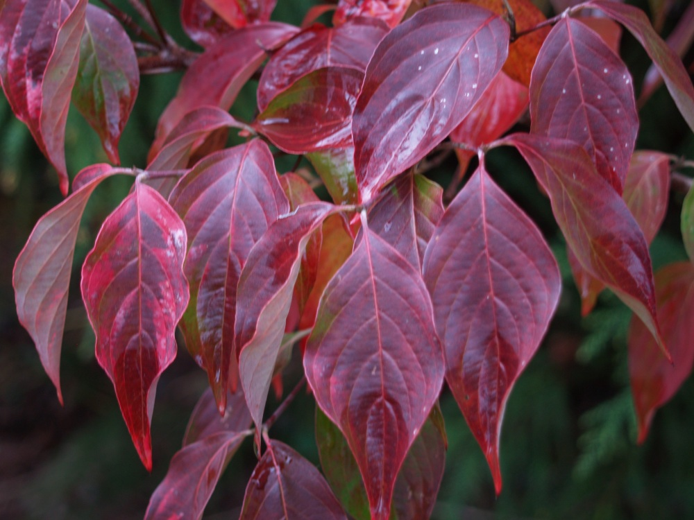 Celestial Shadow dogwood in late October