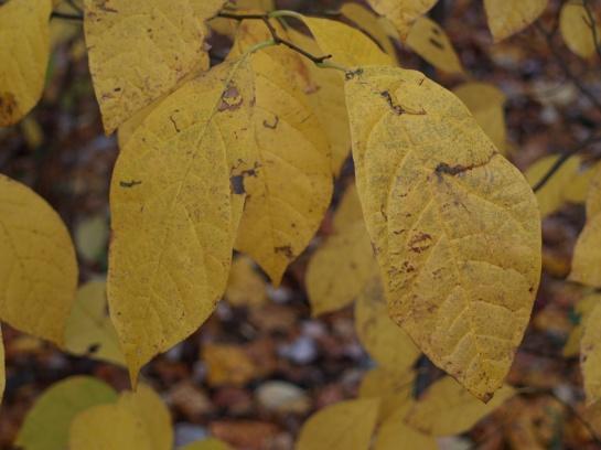 Spicebush in late October