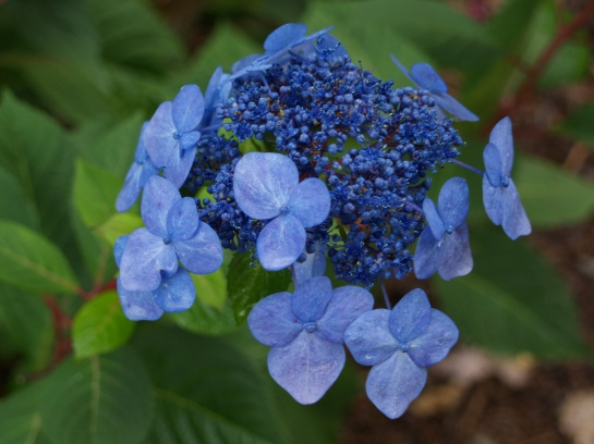 Twist N'Shout lacecap hydrangea in early November