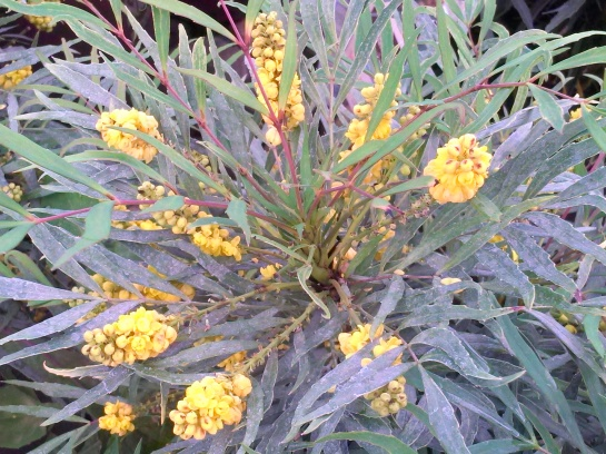 Soft Caress mahonia