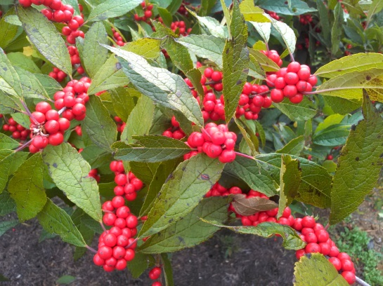 Berries on a deciduous holly in early November in a friend's garden