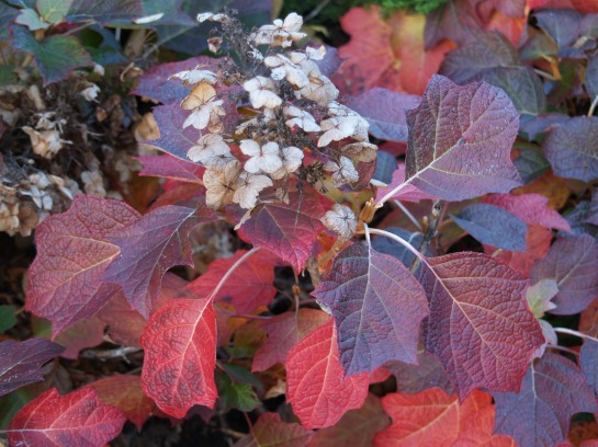 Oakleaf hydrangea in early November