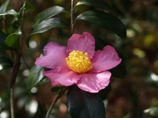 Winter's Star camellia in early November