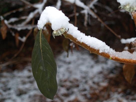 A lone leaf hangs limp on paperbush after freezing temperatures