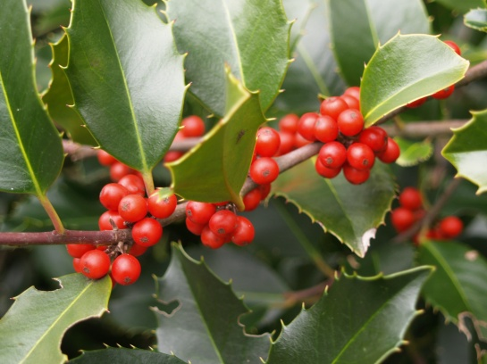 Berries of Koehneana holly in mid December