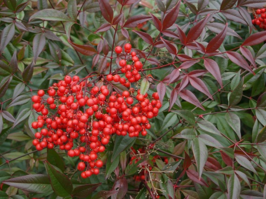 Berries of Nandina domestica in early December