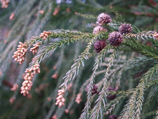 Seed cones on Japanese cedar in December