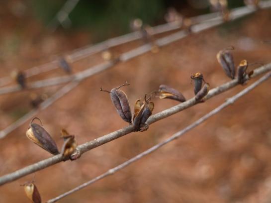 Seed carpels on Katsura tree in late December