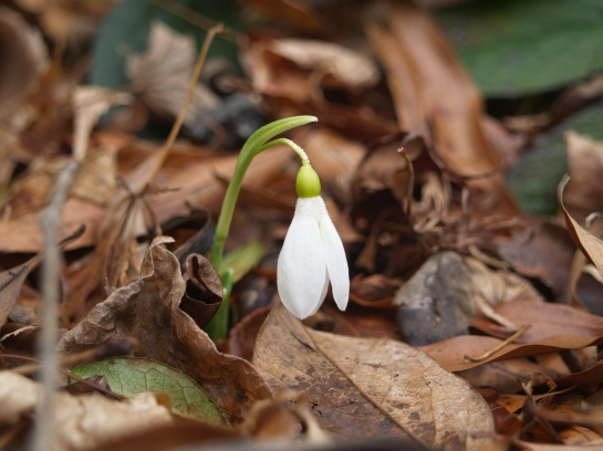 The first snowdrop in late December - barely standing above deeply piled leaves.